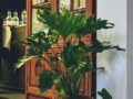 Philodendron Little Hope full screen