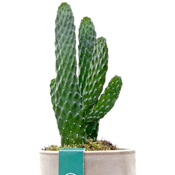 Consulea Cactus - collectors item full screen