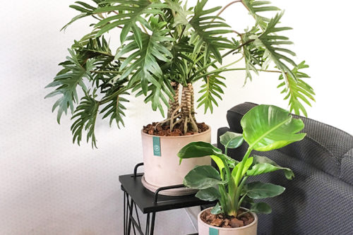 DAG OUD & NIEUW KATER, HALLO LIMITED EDITION PHILODENDRON XXL